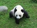 熊猫 野性回归