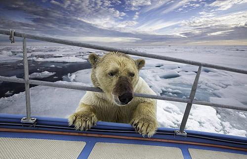 摄影师拍到北极熊分食海象血迹兔子欲登船满身蟒蛇食物链的关系图片