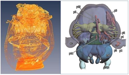 中科院动物所基于仪器开展杨叶甲等昆虫发育过程中形态结构变化的研究