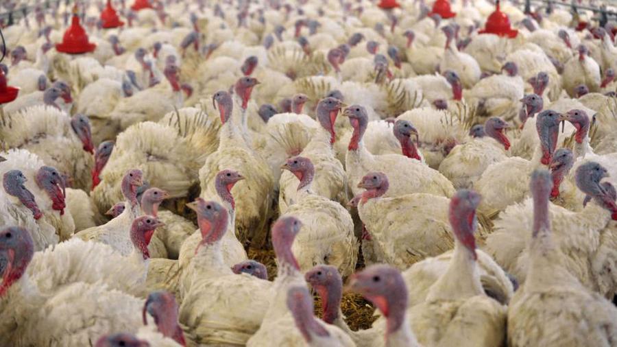 德国的火鸡饲养场资料图。