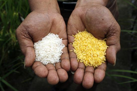 黄金大米(右)与普通大米(左)的比较。黄金大米(英语:Golden Rice)是一种转基因稻米品种,由美国先正达种子公司参与研发。