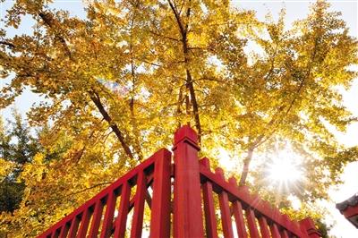 地坛公园银杏树_11月6日,地坛公园,阳光透过古银杏树,洒在红色的栏杆上.拍者 子丘 摄