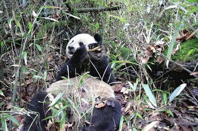 大熊猫换口味 林间大啃羚牛骨(图)