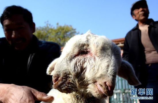 新华网济南11月13日电近日,山东省昌乐县发生一件稀罕事,一头母羊生下一只双头羊。目前,这只双头羊即将满月,除双头中间的眼睛有些感染外,其他都健康,体长有40多公分,体重有十几斤。