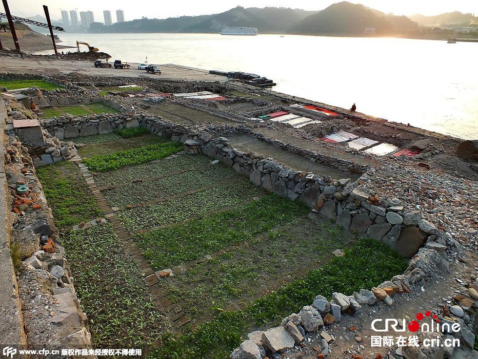 长江进入枯水期 沿岸居民江滩上造地种菜(高清组图)