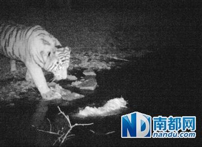 """11月9日17時05分,蘿北縣太平溝自然保護區遠紅外線照相機拍到的""""庫賈""""照片。"""