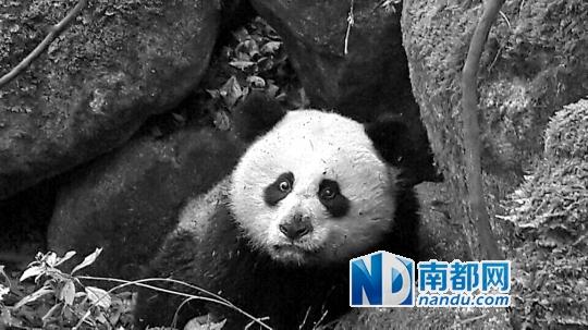 """受伤的大熊猫""""平平""""。 新华社发"""