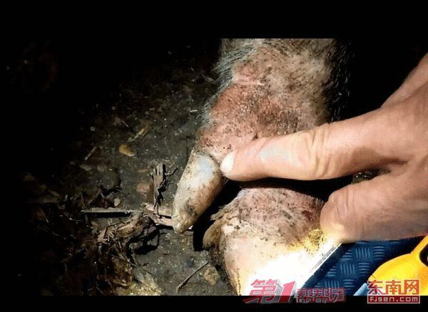 南平建瓯盛洲定点屠宰场里的病猪,蹄甲与肉分离,疑似得了猪五号病。