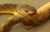 澳棕树蛇竟咬'蛇'自尽