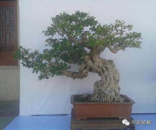 九里香微型盆景