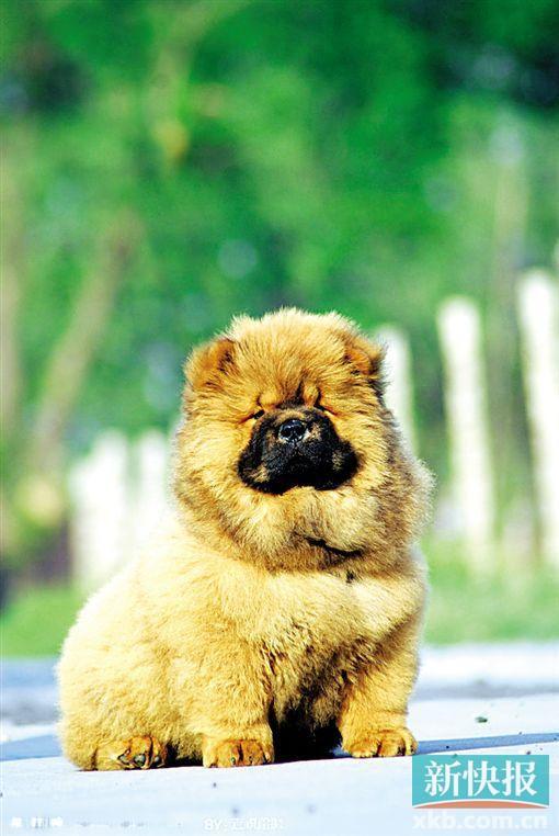 松狮犬去宠物店洗牙 被注射过量镇静剂死亡(图)