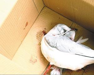 受伤海鸥被送到救命核心救治供图