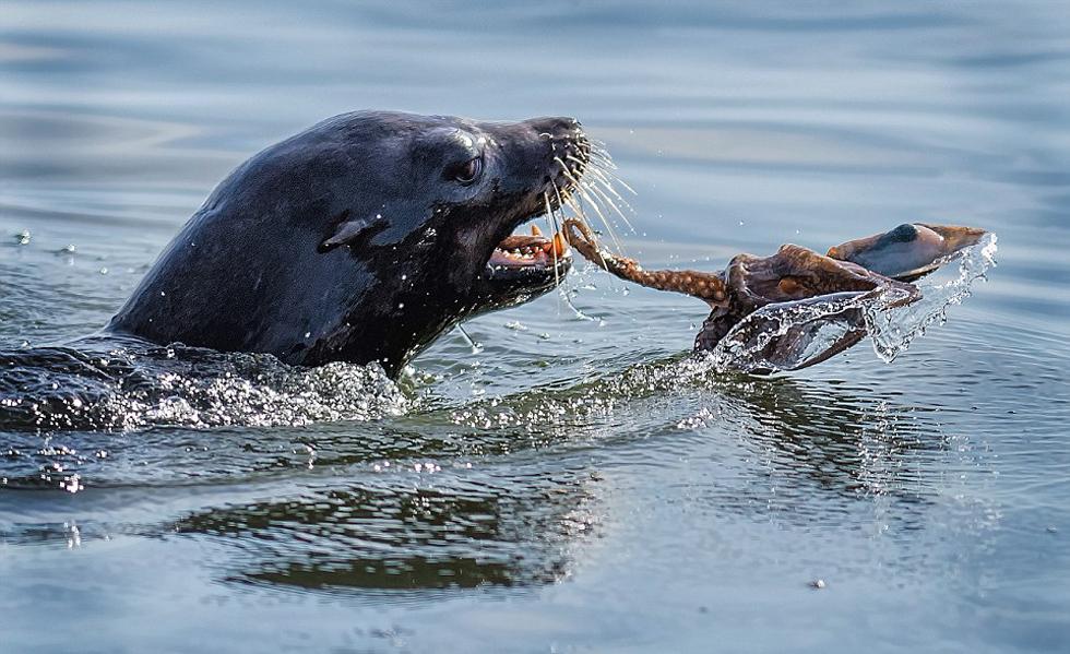 生存之战:章鱼组图捕杀饥饿遭激烈反抗(白点海豹)高清肝上有兔子有点硬硬的图片