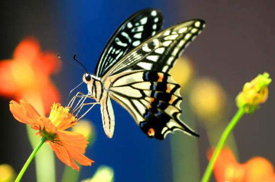 【双语美文】一只蝴蝶的爱情
