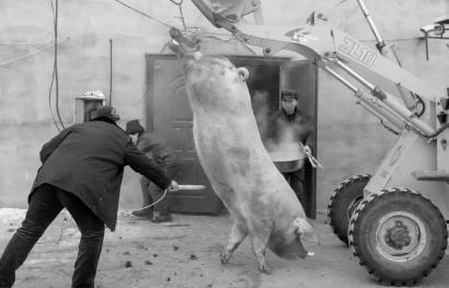 这头猪切实太大了,不必铲车可没人能搬动它