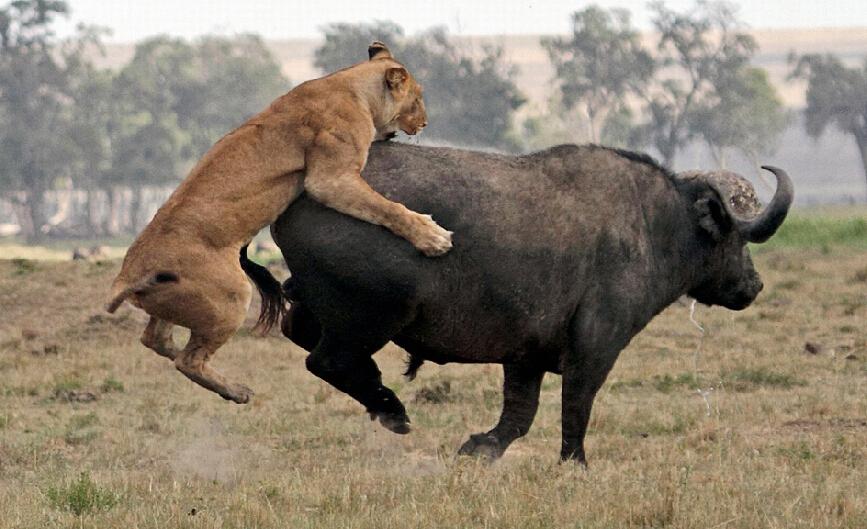 非洲野牛努力逃走,将狮子从背上甩脱.网页截图