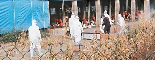 云林县四处养鹅场确认感染新型H5N2禽流感,防疫人员11日连夜扑杀。图:台湾《联合晚报》