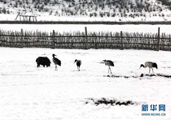 1月18日,动物在云南香格里拉县纳帕海风景区内觅食。当日,云南省香格里拉县迎来今年第二场雪,纳帕海风景区银装素裹,分外美丽。 新华社发(梁志强 摄)