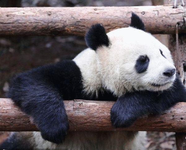 """大熊猫呆萌""""打坐""""萌翻全场"""