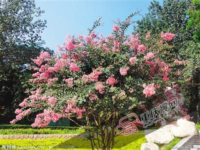 紫薇树:是国家宝贵的情况爱护动物。它是千屈菜科落叶乔木,高可达10米。每一年夏春季着花,每花序可敞开50天摆布,全株花期长达4个月之久。是优异的园林欣赏花木,亦是精良的树桩盆景品种之一。