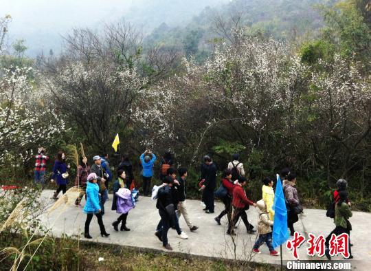 图为在贵州省荔波县洞塘乡万亩梅园景区赏梅游客络绎不绝。 杨云 摄