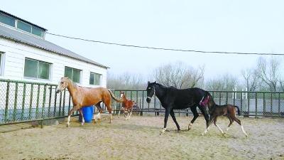 """图为出生仅三天的小马驹和母马在运动场悠闲地""""踱步""""?!≈芄闳ㄉ? align="""