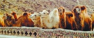 骑骆驼是沙漠中的体验项目。