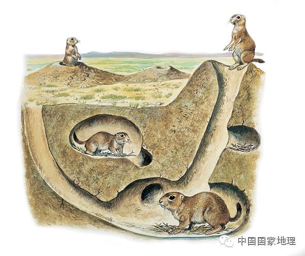 草原犬鼠洞穴结构剖面示意图