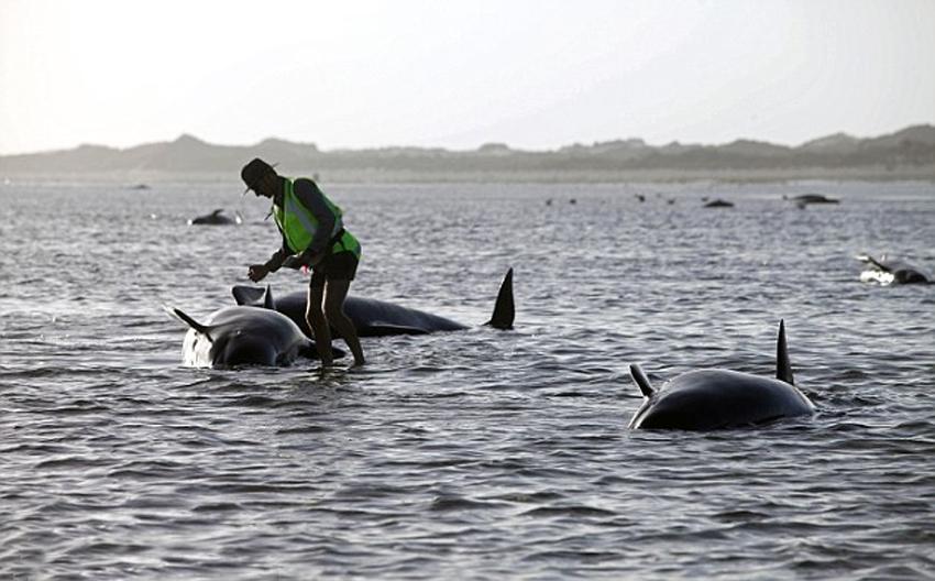 据每日邮报2月13日报道,当地时间12日,新西兰一处海滩出现近200头巨头鲸搁浅的事故,当地保护动物官员表示,已经有50头鲸鱼死亡。