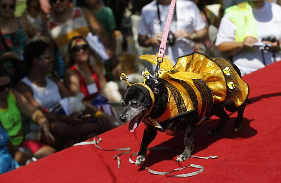 萌狗穿短裙系领结参加巴西动物狂欢节(高清组图)