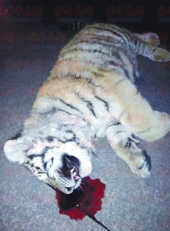 李女士夫妻俩发现的老虎。(市民供图)