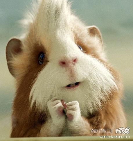 /日本超萌宠物天竺鼠照片动物也爱Cosplay(组图)