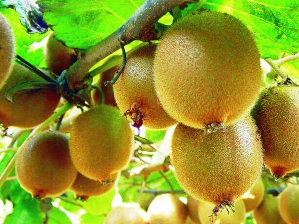 孕期可以吃猕猴桃吗?