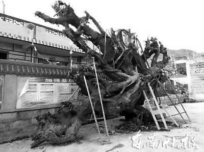 """摆放在霞浦古县村委会门前的""""乌木"""""""