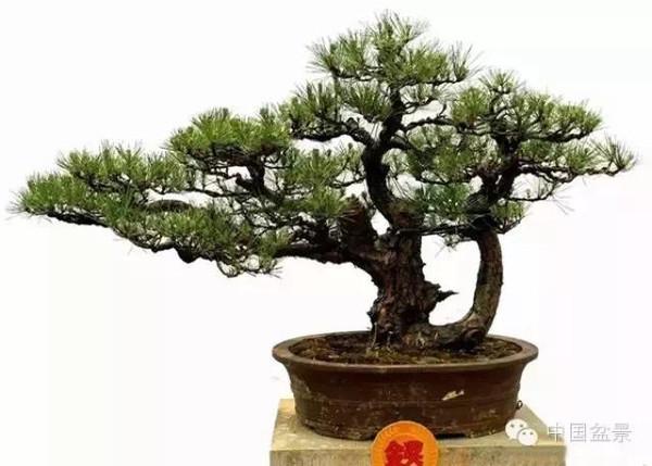 松树盆景制作视频_如何完美造型松树_诚信园林