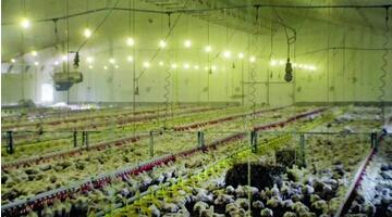 BBC的记录片显现,约3.4万只鸡挤在饲养棚里