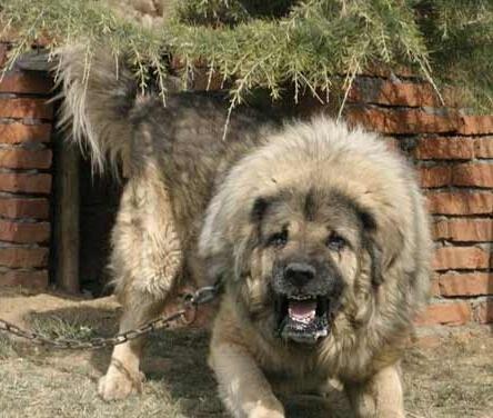 世界最厉害的狗 3分钟能咬死一头德国黑背