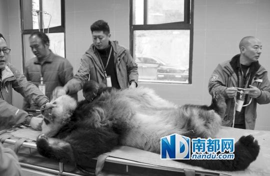 被救的家养大熊猫在国家爱护大熊猫研讨中心耿达神树坪基地兽病院内承受体检。