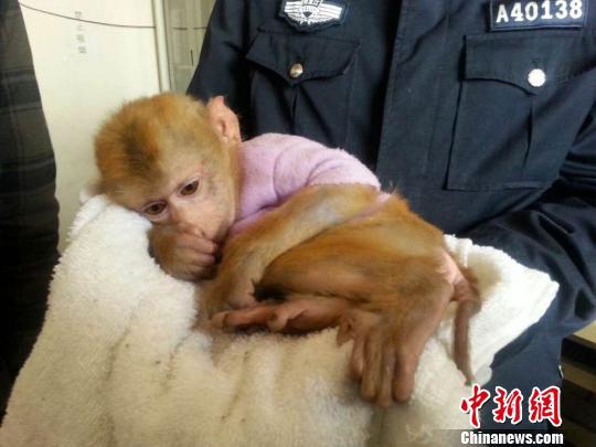 19日,哈尔滨警方捕获多名涉嫌不法收买宝贵、濒危家养植物的犯法怀疑人,胜利追缴回3只爱护植物越南豚尾猴。图为被缉获的越南豚尾猴。 哈尔滨道里公循分局辅警大队供给