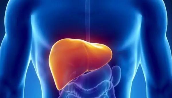 肝脏——这个红褐色的器官位于胃的右边,大约有1.4公斤重.肝脏有图片