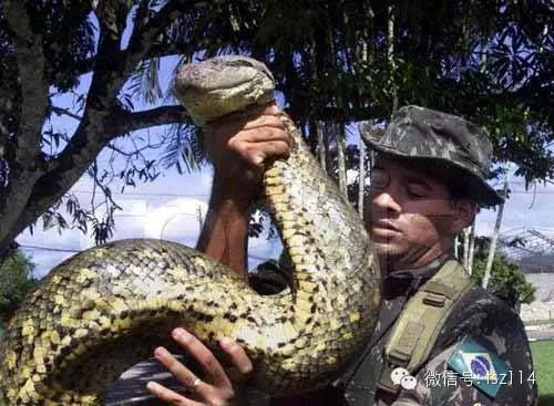 蟒蛇之最 世界最大的蛇排名图片