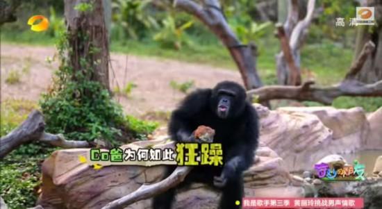"""不外,已有业余人士支援这方观念。科普网站果壳网上的""""河马叔叔""""材料引见是研讨黑猩猩多年的博士生,曾到非洲由驰论理专家珍・旧道尔开办的黑猩猩保护所实地进修。他指出,节目中最不科学的一其中央是带小黑猩猩和父亲相认,由于雌性黑猩猩有两个暗中的天性―惧外和杀婴。依照节意图说法,小黑猩猩Coco早就在刚出身的时分就被抱走了,它爸基本不行能认得它,其发疯体理想际上是想把这只生疏的猩猩杀掉。"""