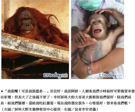 这一档节目酿成的结果对红毛猩猩来讲是灾祸性的,下面那是台湾媒体配资公司 此事报导的截图。据计算有多达1000只猩猩被胜利私运到台湾卖作宠物,多数由于气象不宜或关照不周,在5年内死掉。更喜剧的是,在这1000只到达耗费者手中的红毛猩猩暗地里,另有别的4000只猩猩非失常殒命,或许在捕猎进程中被猎人打死,或死在运送途中―这个数字,简直到达了猩猩属两个物种现存个别数的10%!