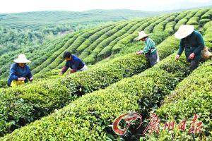 茶叶是杭州的一张名片。