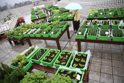 """台北市政府推广田园城市,位于复兴南路二段的""""农委会""""顶楼成示范菜园,种植近40盆植栽,有小黄瓜、白菜等有机蔬菜,让闲置空间得以活化,也让民众吃出健康。来源 台湾""""中央社"""""""