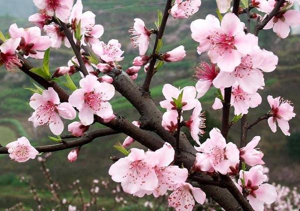 2015常州圩墩公园桃花节