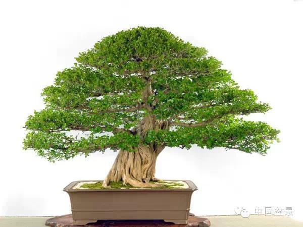 值得收藏的六种盆景树种
