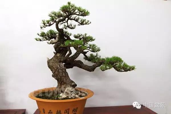 松树盆景的年间管理技艺