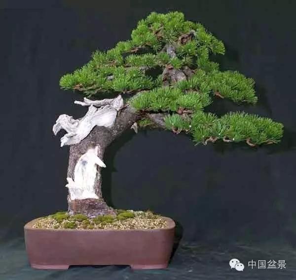 松树盆景一年十二个月的的管理方式
