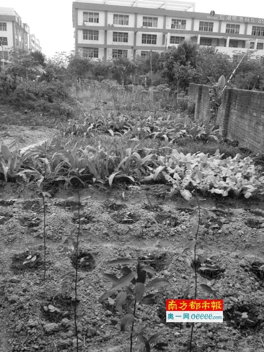 花农新抢种的树木。 南都记者 刘有志 摄